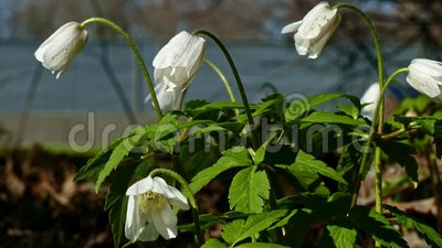 Snowdrops primroses bloom by the road. Snowdrops bloom on the background of the highway with passing cars stock video