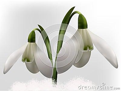 Snowdrops  illustration
