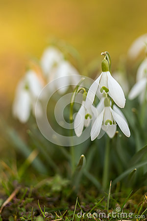 Free Snowdrops In Springtime Royalty Free Stock Photo - 51345505