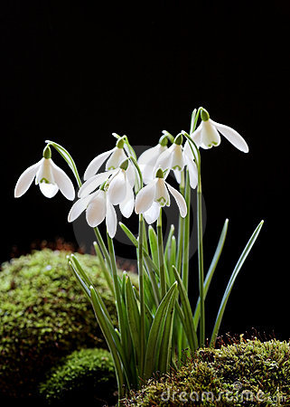 Free Snowdrops On Black Royalty Free Stock Image - 4285906