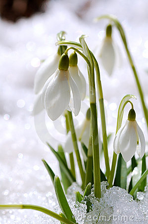 Free Snowdrops On Snow Stock Photography - 4832412