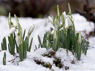 Snowdrops in snow