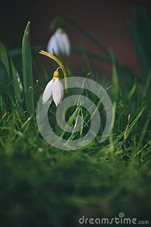 Free Snowdrops Spring Flowers. Beautifully Blooming In The Grass At Sunset. Delicate Snowdrop Flower Is One Of The Spring Symbols. Ama Stock Images - 110739824