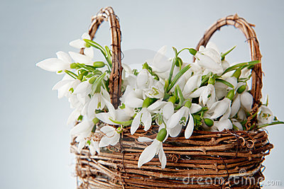 Snowdrops in wicker basket