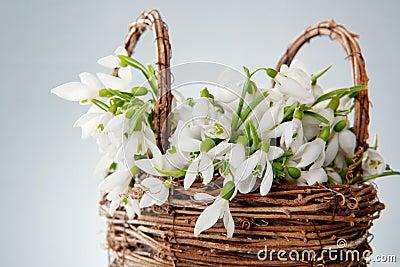 Snowdrops in wicker basket