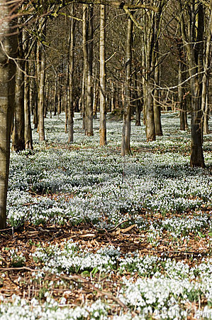 Snowdrops in woodland, vertical