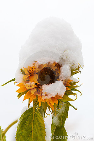 Snowed-on sunflower