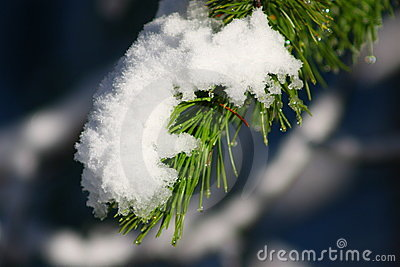 Snowfall on pine bough