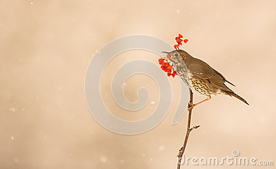 Song Thrush eating a berry