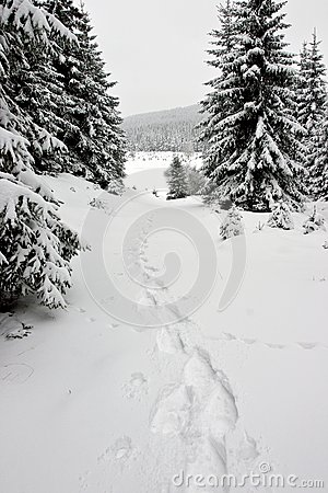 Snowshoe Footprints in Winter Forest