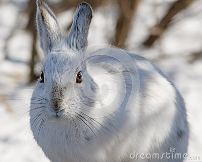 Snowshoe hare Close Up