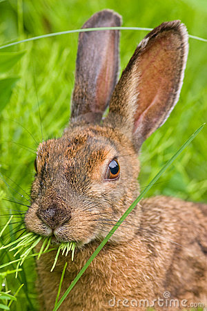 Snowshoe Hare feeding on grass