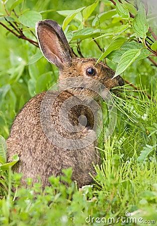 Free Snowshoe Hare Feeding On Grass Stock Image - 7840301