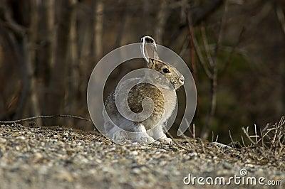 Snowshoe Hare Portrait