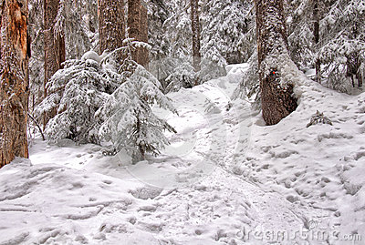 Snowshoe Trail Through the Trees
