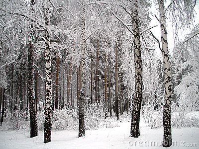 Snowtrees under