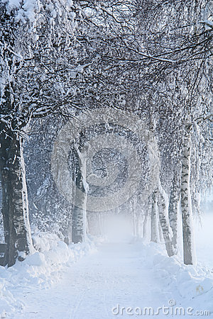 Free Snowy Birch Path II Royalty Free Stock Photo - 36268425