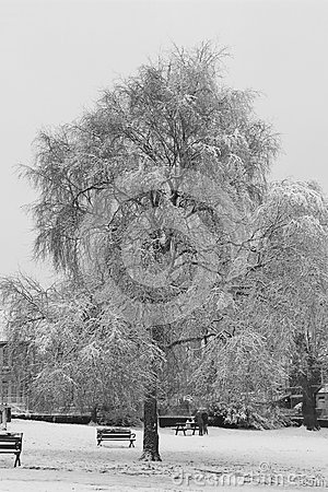 Snowy tree in park