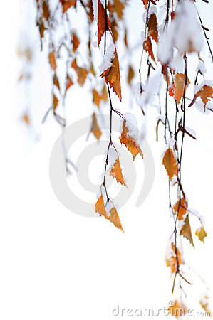 Free Snowy Branches Royalty Free Stock Photo - 4004765