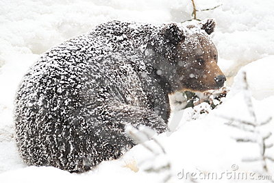 Snowy brown bear