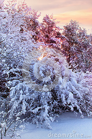 Free Snowy Bush Stock Image - 32944801
