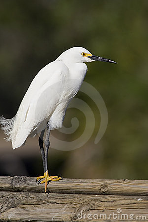 Free Snowy Egret Stock Images - 2065554
