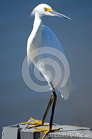 Free Snowy Egret Royalty Free Stock Photo - 20713545