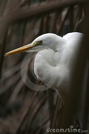Free Snowy Egret Stock Photography - 5547122