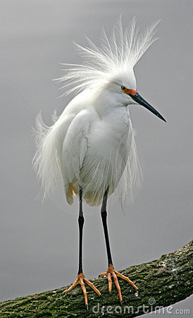 Free Snowy Egret Stock Photography - 8424732