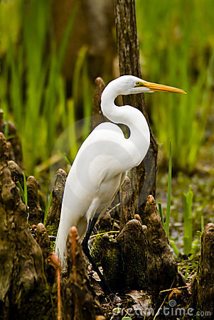 Free Snowy Egret And Cypress Knees Royalty Free Stock Image - 1880386