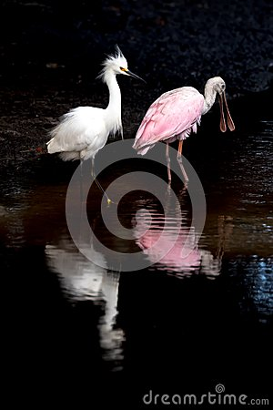 Free Snowy Egret And Roseate Spoonbill Royalty Free Stock Photography - 102835587