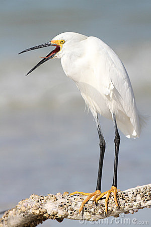 Snowy Egret with Beak Open