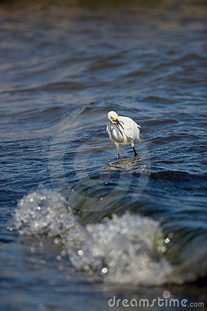 Free Snowy Egret Eating Fish Royalty Free Stock Photos - 15055948