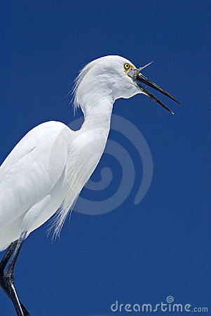 Snowy Egret (Egretta thula) swallowing a fish