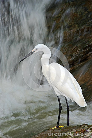 Free Snowy Egret, Egretta Thula, White Heron Bird In The Stone Rock Waterfall, India Royalty Free Stock Photo - 67920755