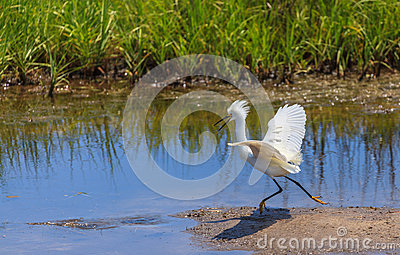 Snowy egret exhibiting breeding plumage