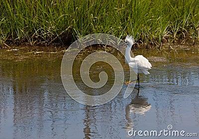 Snowy egret exhibiting breeding plumage