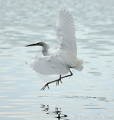 Free Snowy Egret Flying In Bolinas Lagoon Stock Photos - 904003