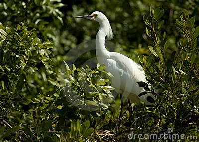 Snowy egret in foliage