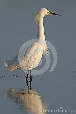 Free Snowy Egret Foraging For Food Stock Image - 29522931