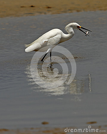 Snowy Egret having lunch