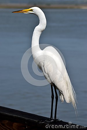 Free Snowy Egret In Florida Stock Photos - 115230043