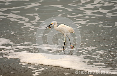 Snowy Egret with Large Sand Crab