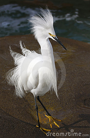 Snowy Egret in Mating Plummage