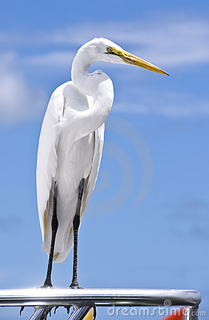 Snowy Egret Perched On A Fishing Boat Royalty Free Stock Images - Image: 10954849
