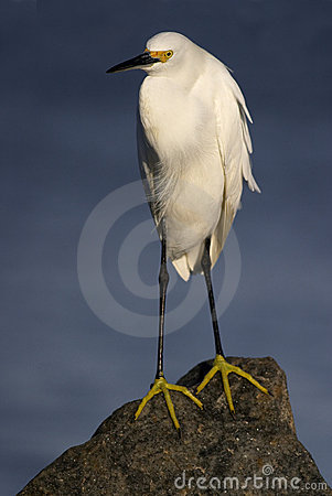 Snowy Egret on rock