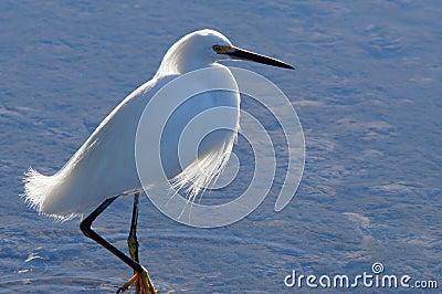 Snowy Egret Stalking