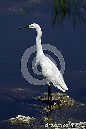 Snowy egret white heron everglades state national park florida usa