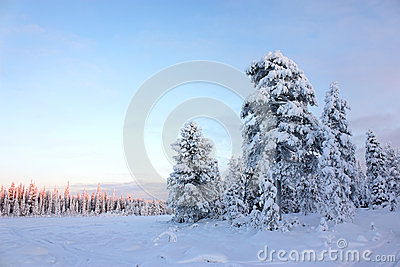 Snowy field pine trees under blue sky