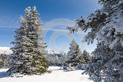 Snowy Fir Trees and Mountains